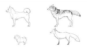 【犬科的區別】柴犬、幼犬、狼、狐狸